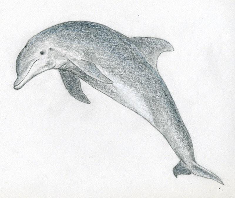 уроки-рисования-как-рисовать-дельфина