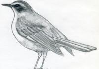 уроки-рисования-птицы