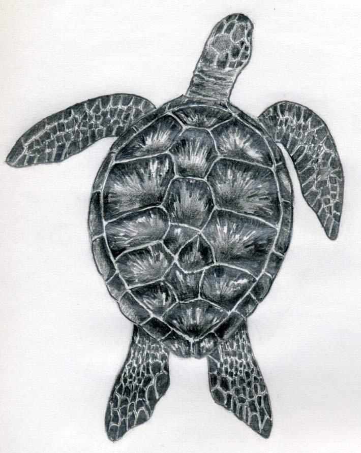 уроки рисования-как рисовать черепаху