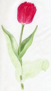 уроки-рисования-тюльпан-стадия1