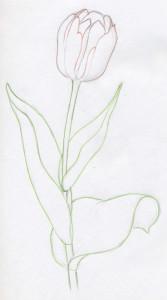 уроки-рисования-тюльпан-контур