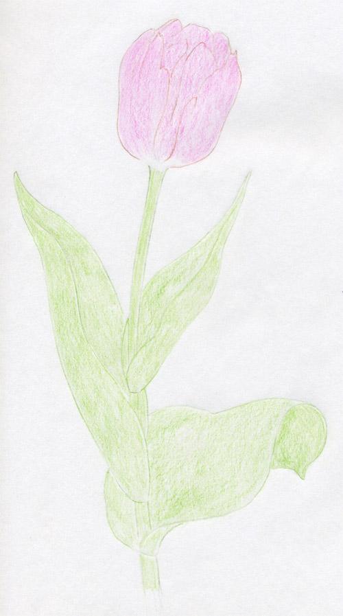 уроки-рисования-тюльпан-в-цвете
