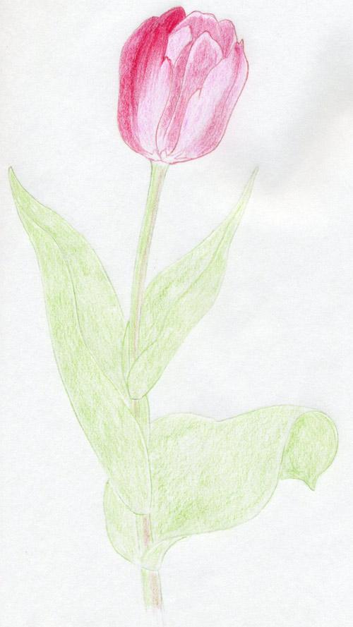 уроки-рисования-тюльпан-карандашом