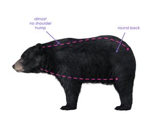 урок-рисования-как-рисовать-медведя8