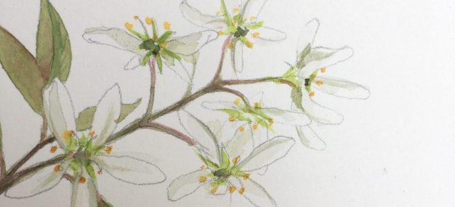 деталь рисунка цветка акварелью